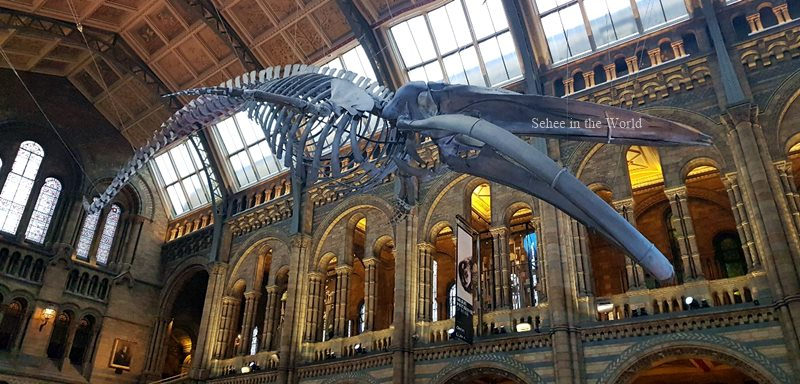 Blue Whale at London Natural History Museum