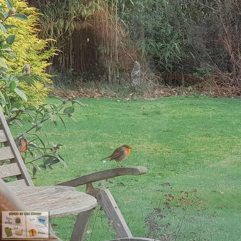 Curious, territorial European robin, sitting on a garden chair - photo taken by me in England in February, Sehee in the World