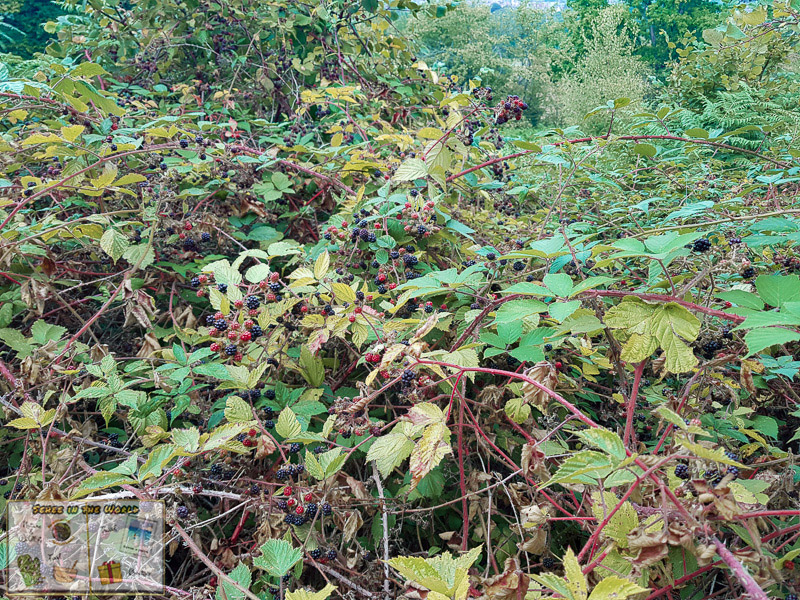 Wild blackberry bushes in England - photo taken by me, Sehee in the World