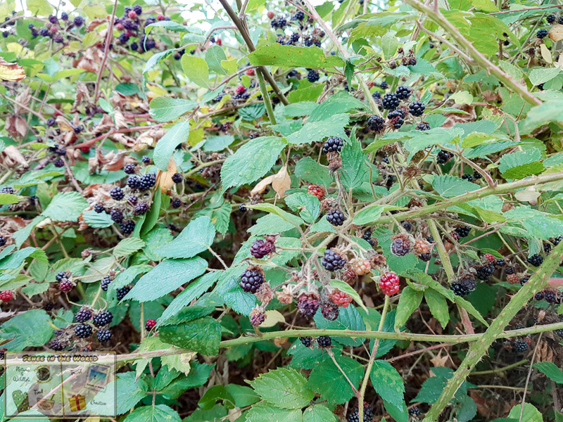 Wild blackberries on bushes in England - photo taken by me, Sehee in the World