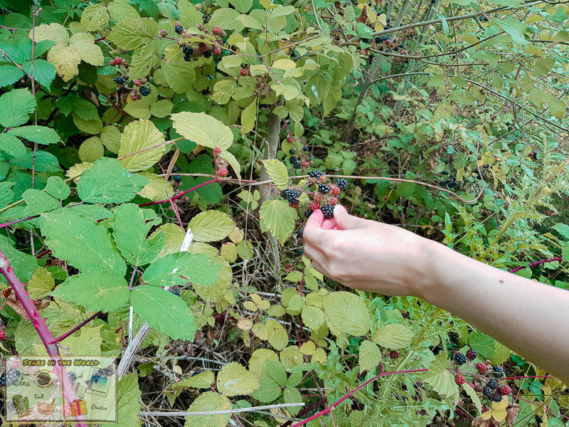 Picking wild blackberries in England - photo taken by me, Sehee in the World