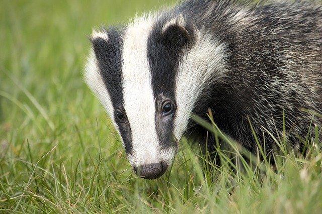 Example photo of a badger - image by andyballard (Pixabay)