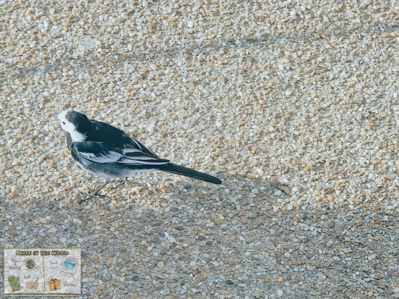 A tiny pied wagtail loitering around tourists at Stonehenge - photo taken by me, Sehee in the World