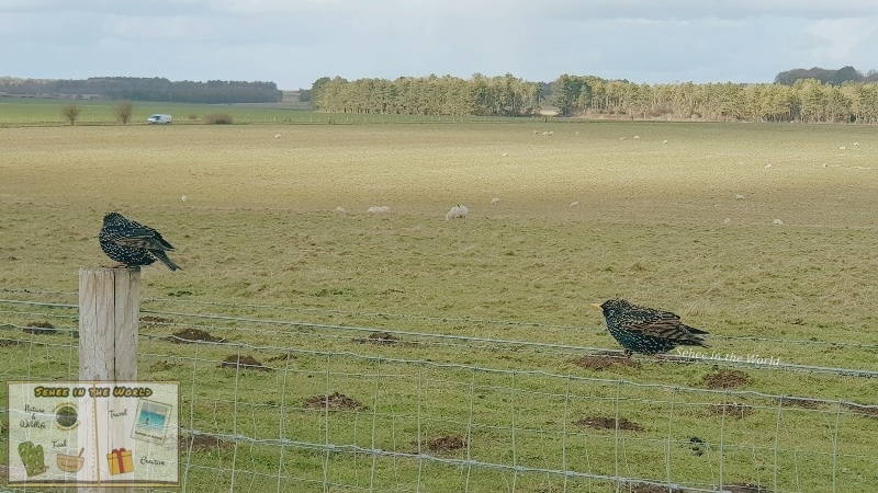 Starlings resting on the fence at Stonehenge - photo taken by me, Sehee in the World